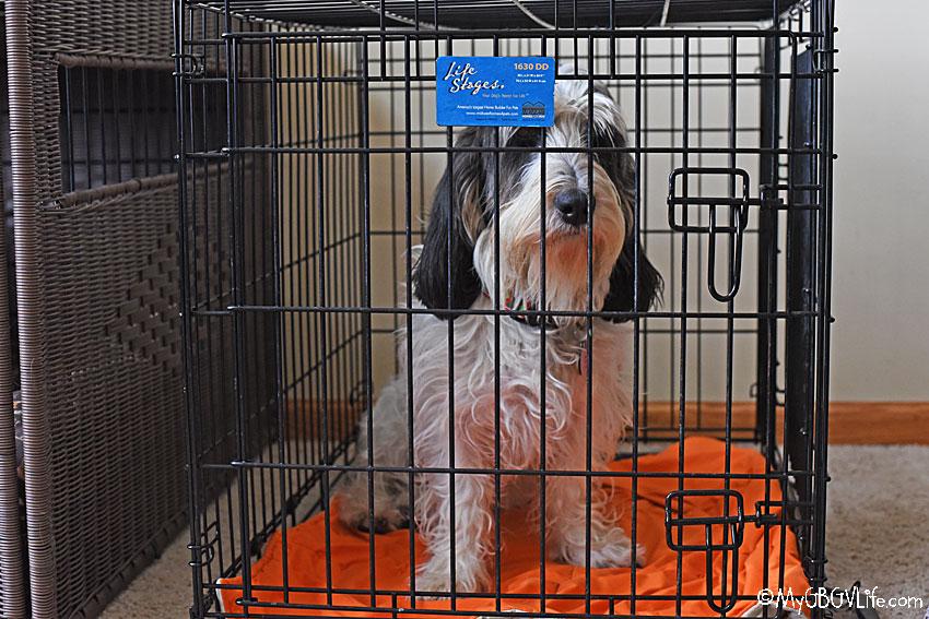 My GBGV Life dog in kennel
