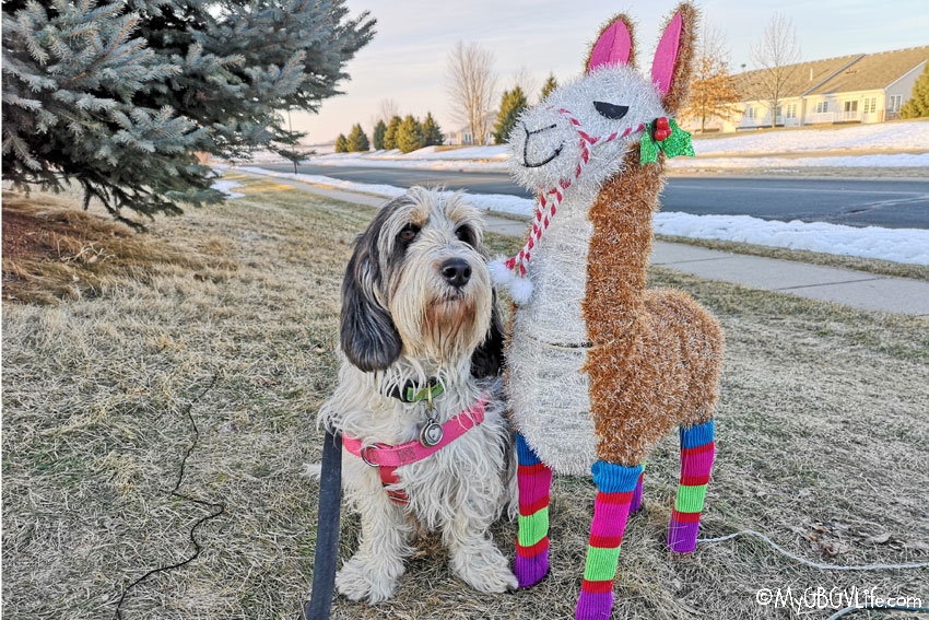 My GBGV Life There's No Drama With My Llama
