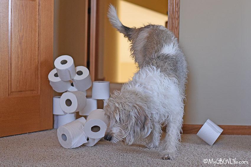 My GBGV Life Has Your Dog Taken The #ToiletPaperChallenge