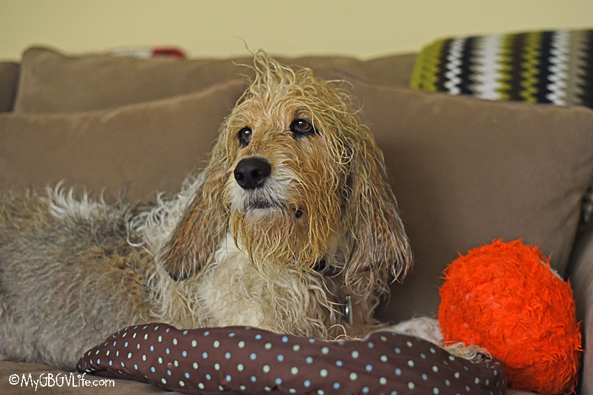 My GBGV Life wet dog on the couch