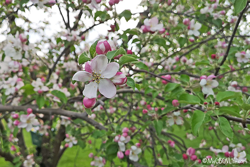 My GBGV Life apple blossoms