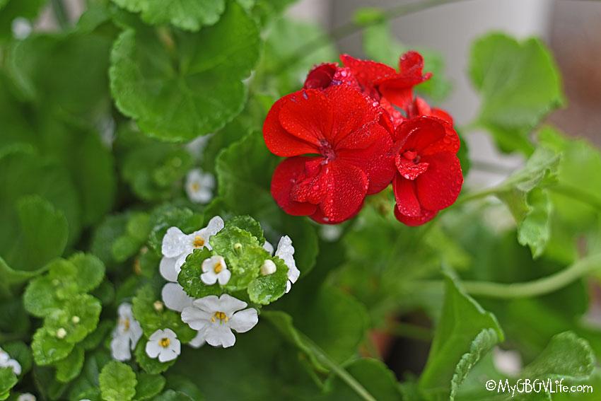 My GBGV Life geranium
