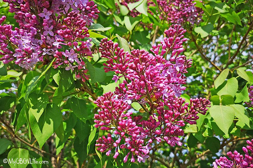 My GBGV Life Lilacs