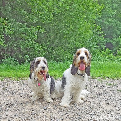 My GBGV Life The Problems With A Long Dog Tongue - #TongueOutTuesday