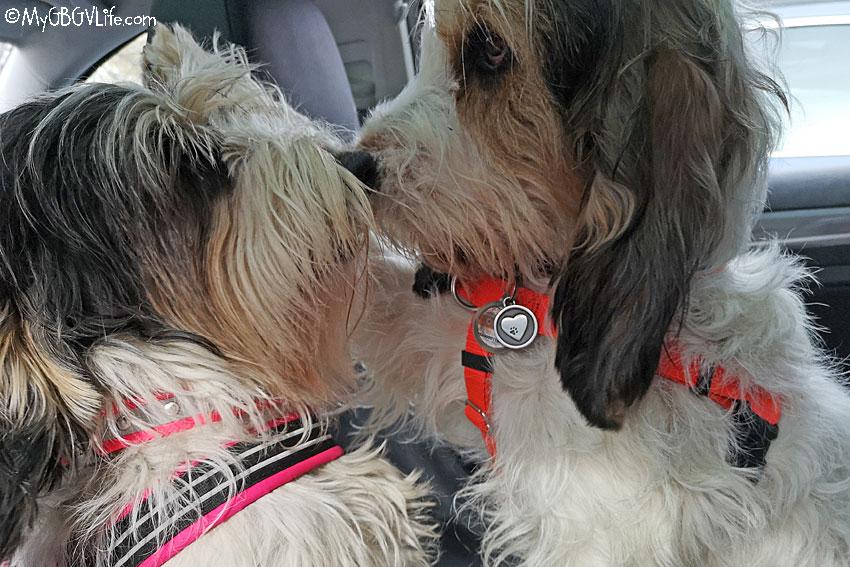 My GBGV Life Canine Boredom Buster - Backseat Wrestling