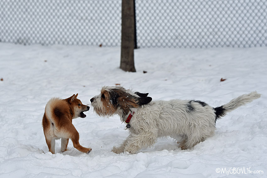 My GBGV Life The Shiba Inu Boys Came Back For Another Play Date