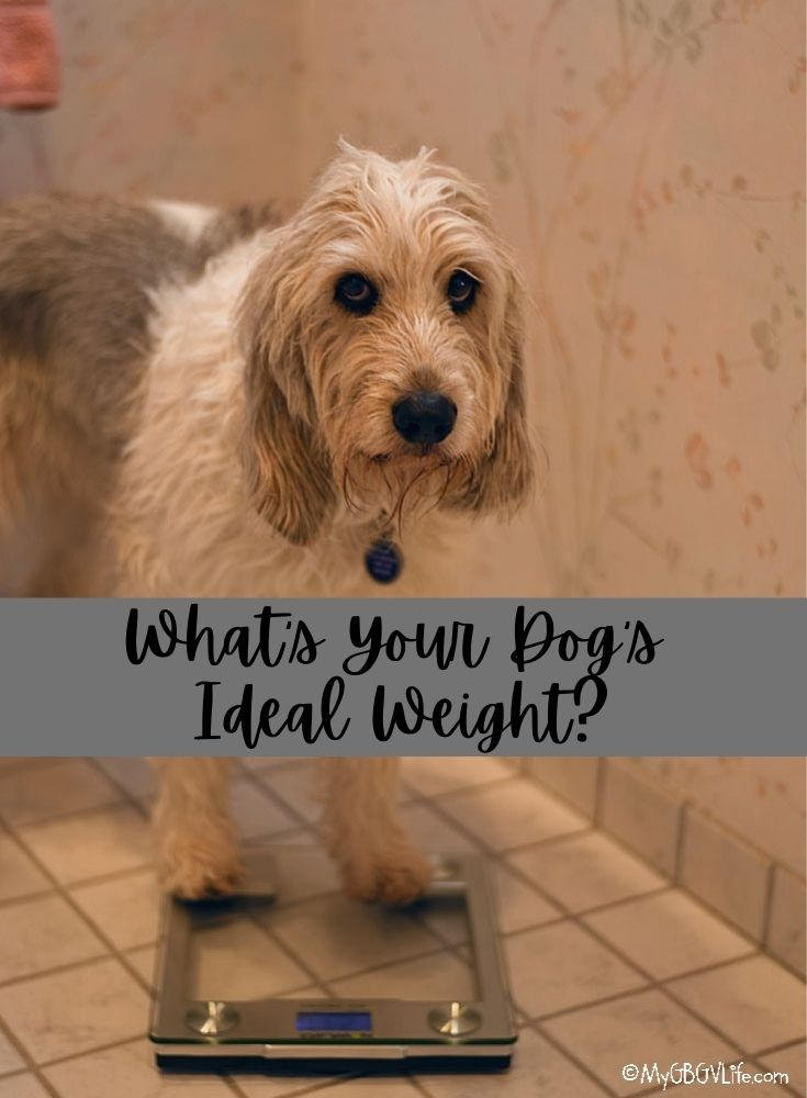 My GBGV Life What Is The Ideal Weight For Your Dog?