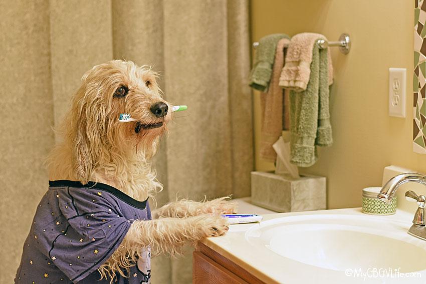 My GBGV Life brushing a dogs teeth