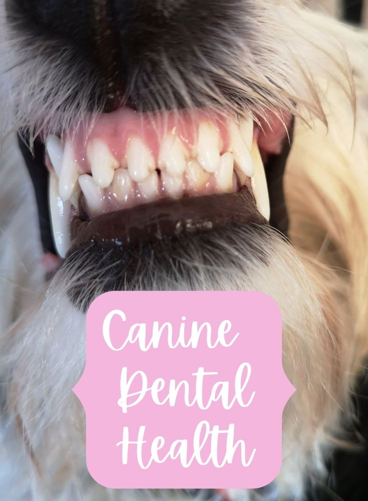 My GBGV Life Canine Dental Health Is So Important!