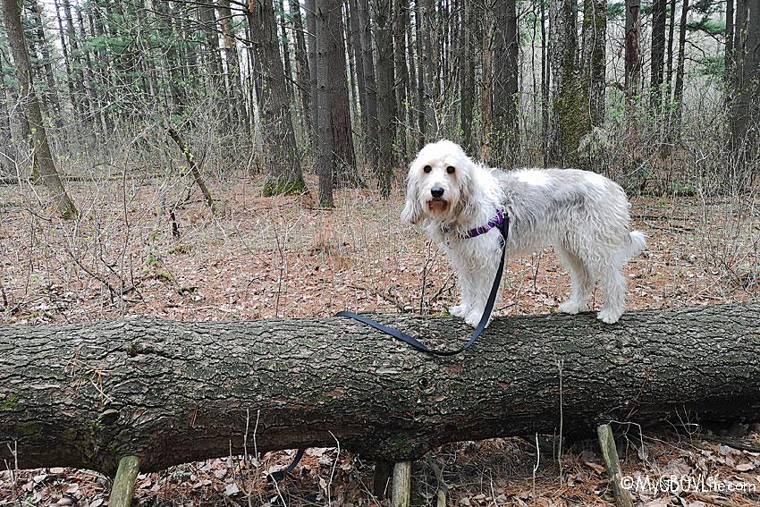 My GBGV Life dog on a log