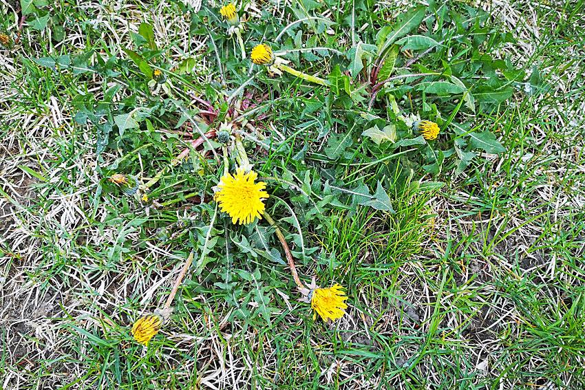 My GBGV Life dandelions