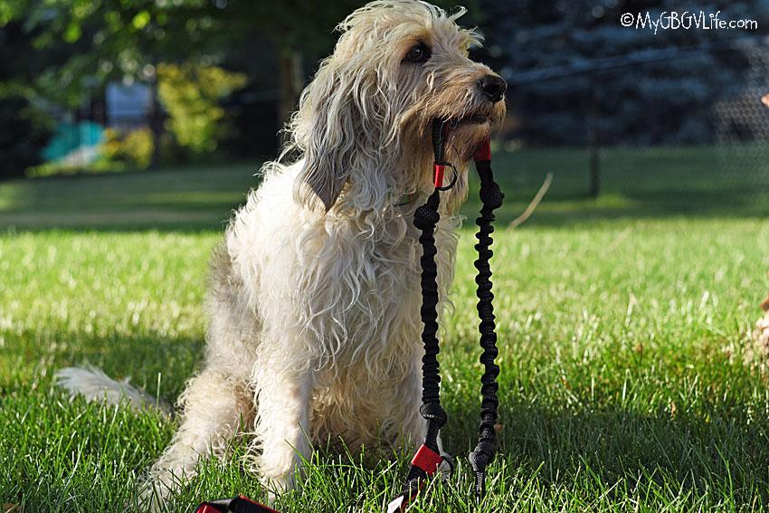 My GBGV Life holding the leash