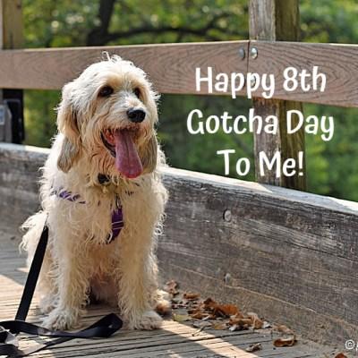My GBGV Life Happy 8th Gotcha Day To Bailie