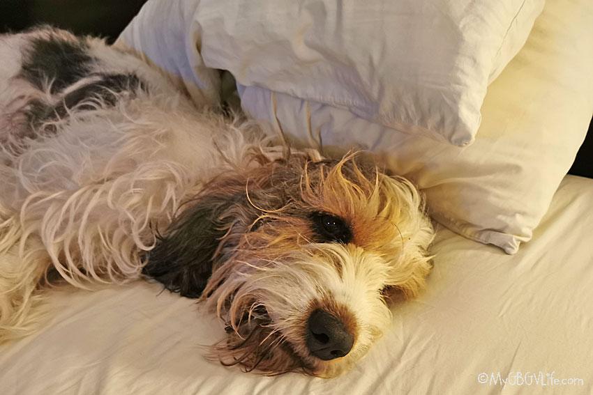 My GBGV Life dog tired