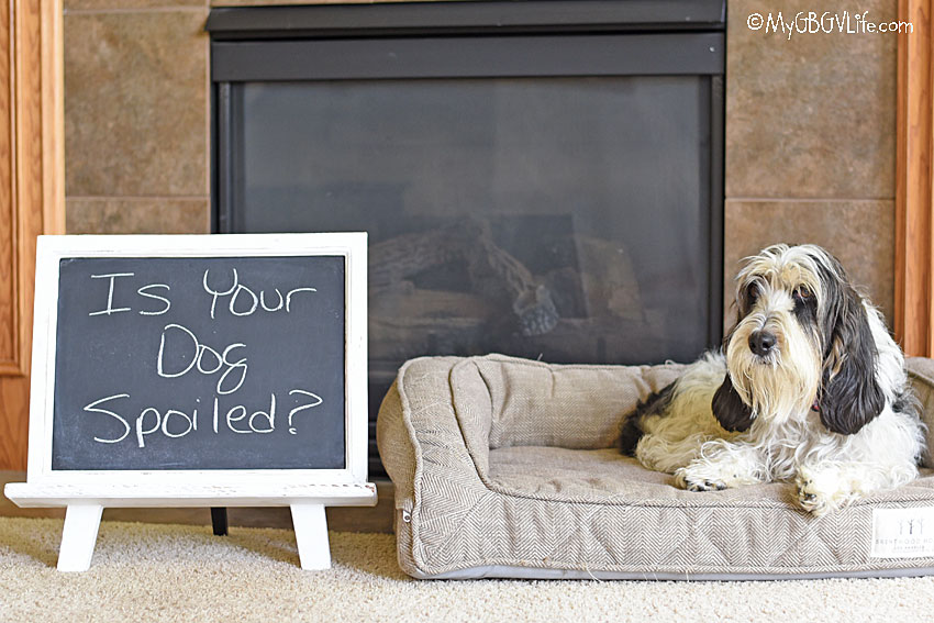 My GBGV Life 5 Signs Your Dog Is A Spoiled Dog
