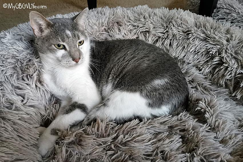 My GBGV Life cat bro Bert