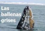 3 ballenas grises