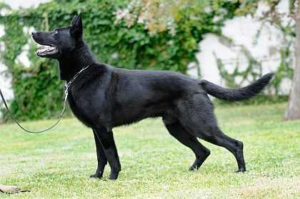 black german shepherd cynology