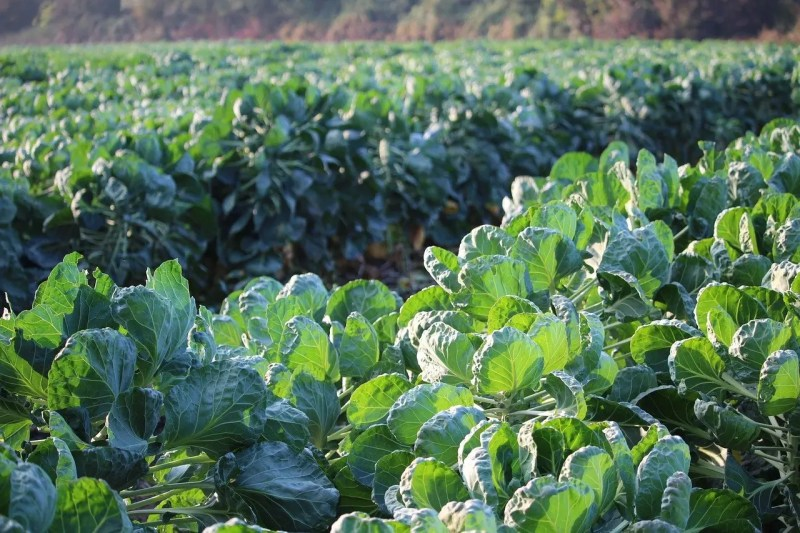 Brussel sprouts growing on a farm