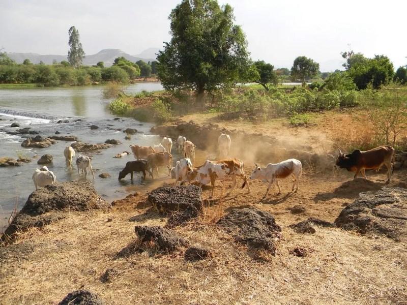 Cows near a river