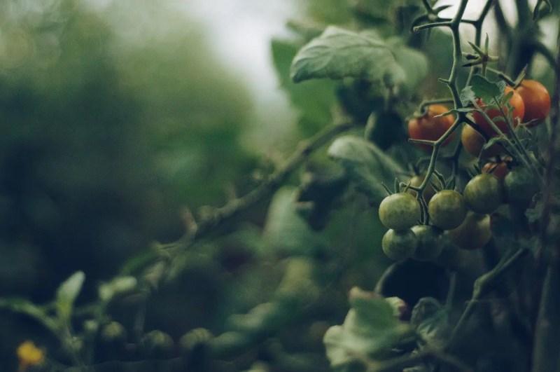 Unripe tomatoes on the vine.