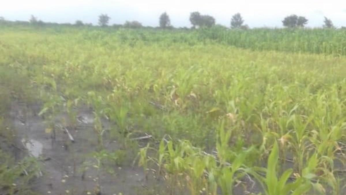Heavy Rains Dent Hopes for Bumper Harvest in Gokwe