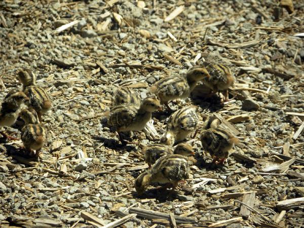 Tiny Baby Quail Chicks