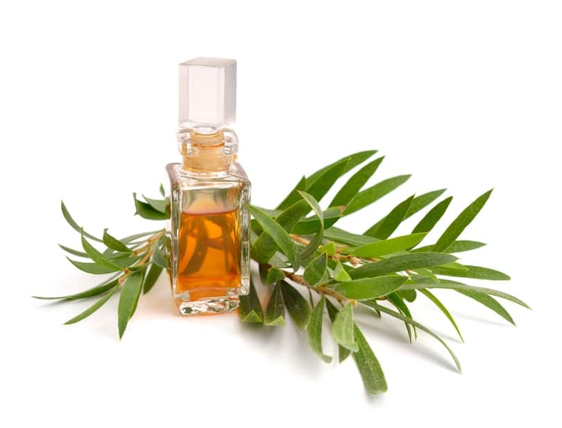 Picture of melaleuca oil in a bottle with tea tree twig behind