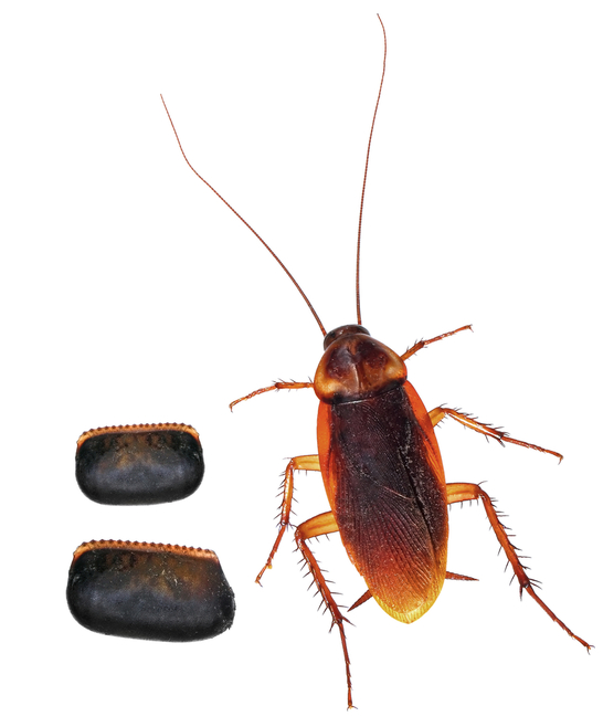 How Many Baby Roaches Are In A Egg : roaches, Roaches, Viewer