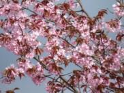 swedish cherry blossoms