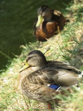 duck qute