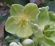 Helleborus niger 1