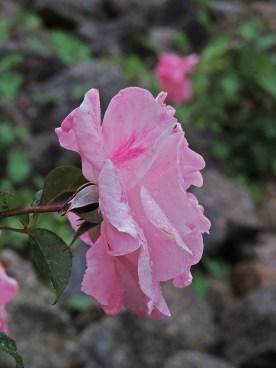 aveiro rose