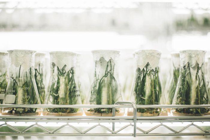 capilia longa grow in lab