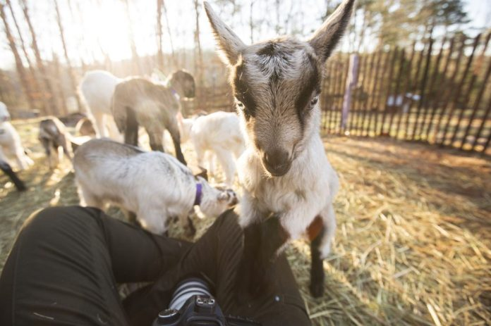 several goats in a open field