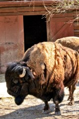 bisons at the zoo
