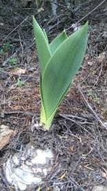 Some bulbous plant