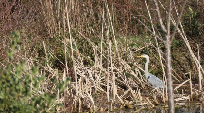 Heron back at our pond