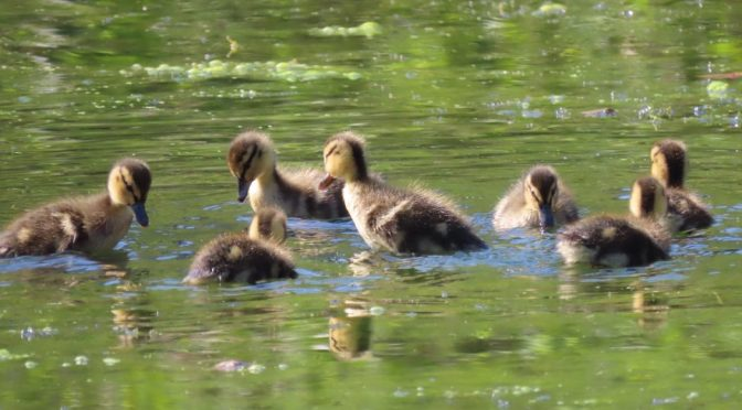 Strange duckling story at Home Farm in 2020