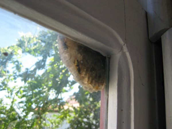 a wasp nest in the corner of the window frame