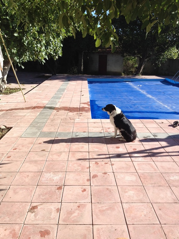 Poppy the Border Collie sat by the swimming pool