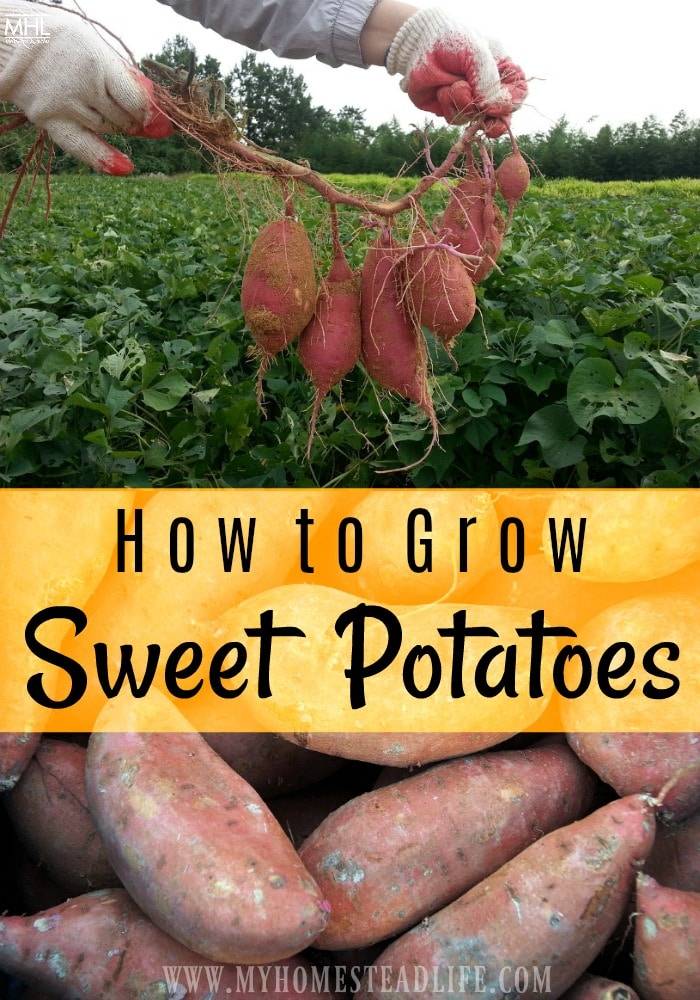 growing-sweet-potatoes-how-to-grow