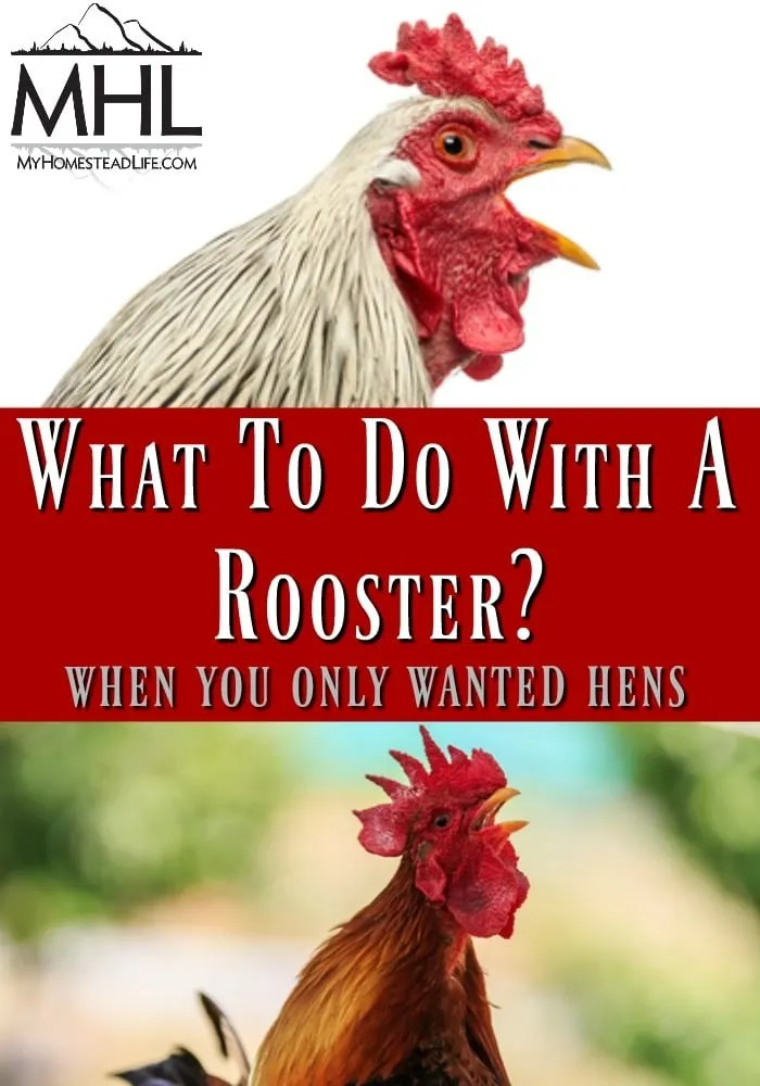 What To Do With A Rooster? When You Only Wanted Hens