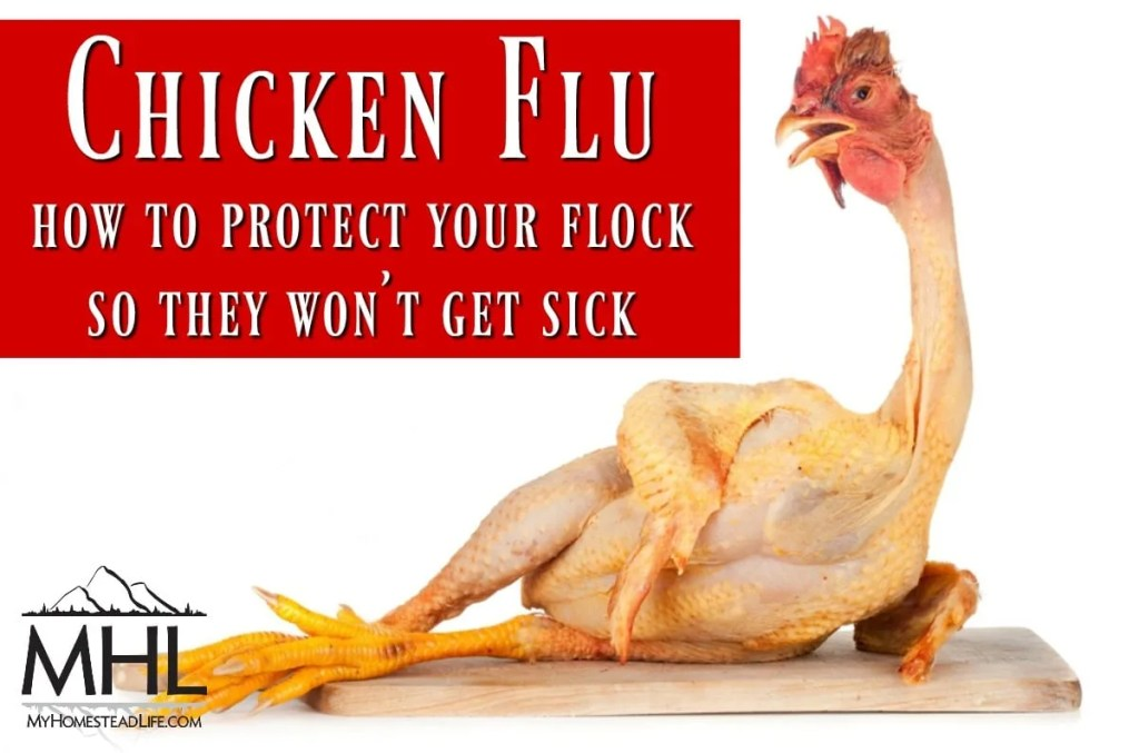 Chicken Flu- How to Protect Your Flock So They Won't Get Sick