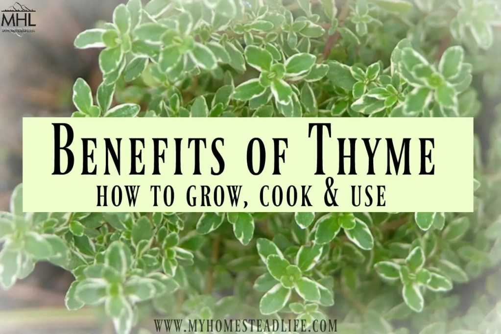 Benefits of Thyme, how to grow, cook and use