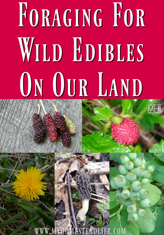 Foraging For Wild Edibles On Our Land, finding FREE food