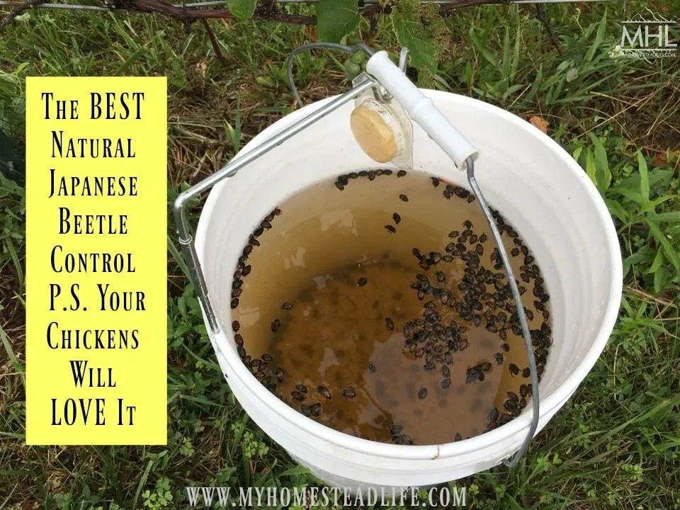 natural-beetle-control-japanese-garden-insects-pest-chicken-treats