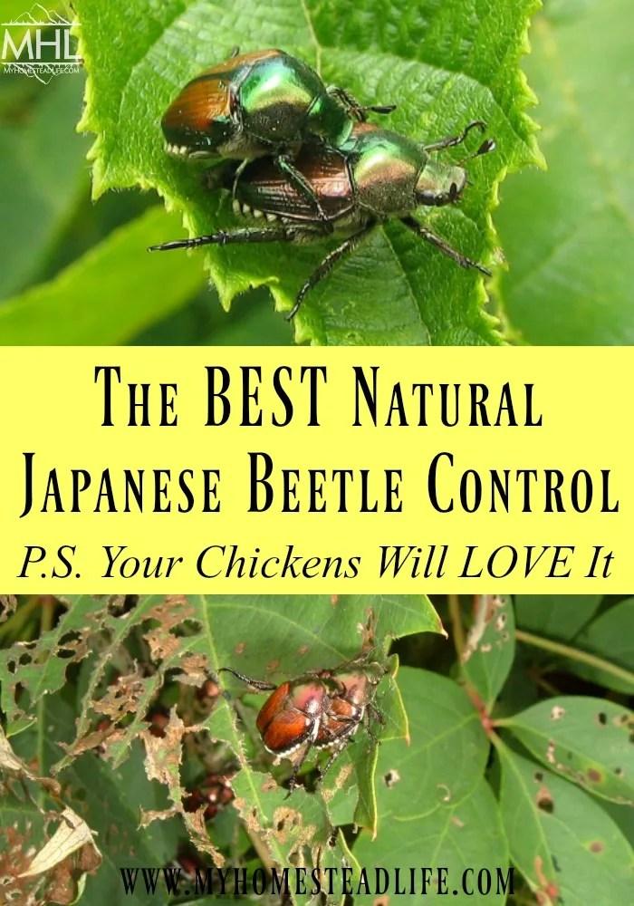 japanese-beetles-natural-beetle control-pest-gardening problems