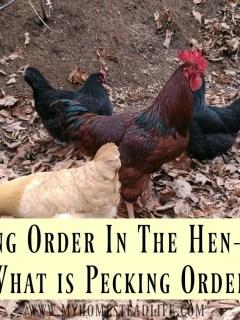 pecking-order-chickens-backyard chickens-livestock