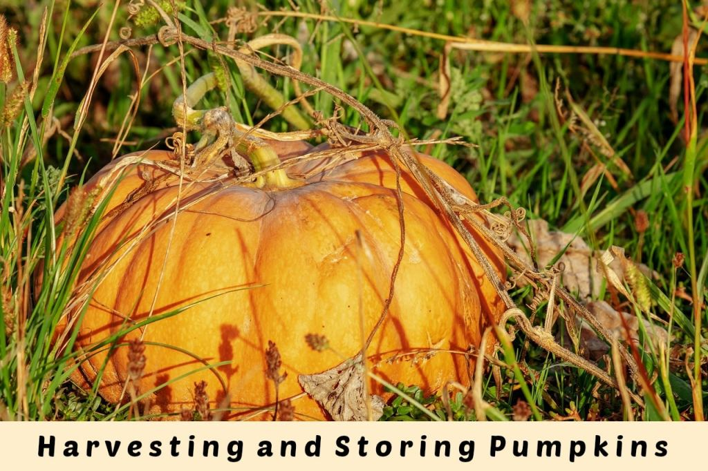 harvesting-pumpkins-fall